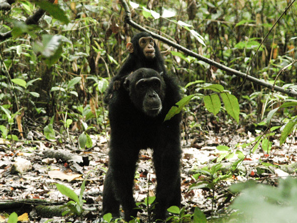 Gombe Forest Lodge - Chimpanzee tracking