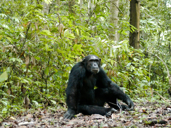 Gombe Forest Lodge - Up-close Chimp viewing