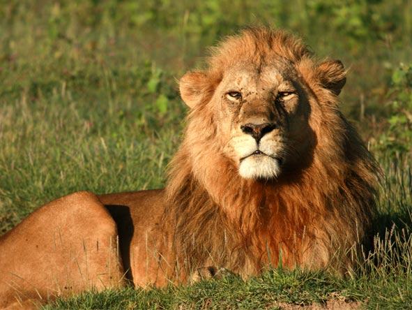 Lemala Ndutu - Year round predators