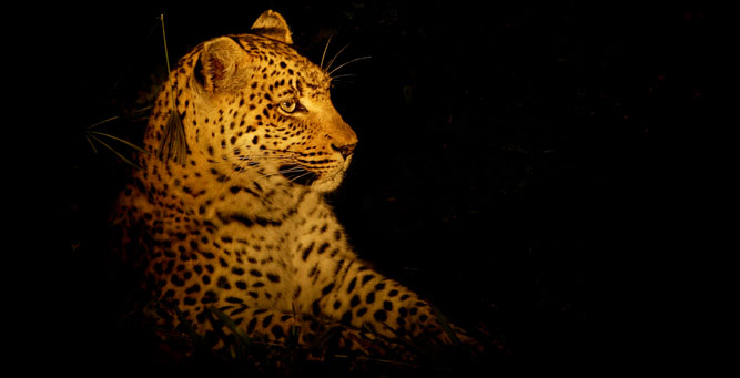 Sunrise & Twilight Photography - leopard side spotted
