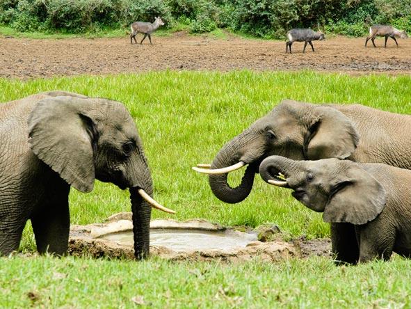 Serena Mountain Lodge - Elephants