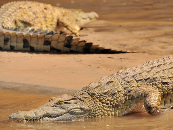 Serena Mivumo River Lodge - Giant crocodiles