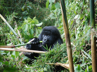 Where to go in Africa in January - gorilla