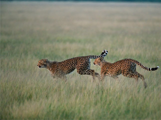 Where to go in Africa in January - Cheetah in the Kalahari