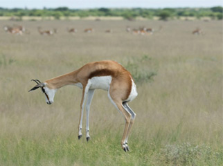 Where to go in Africa in January - pronking springbok