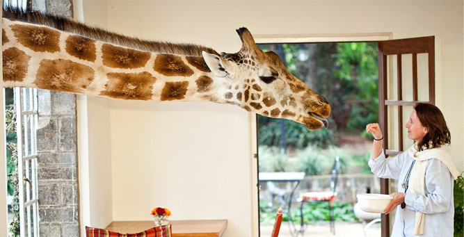 Where to Go in Africa to see Giraffe - Giraffe Manor