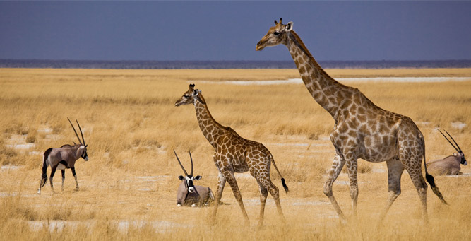Where to Go in Africa to see Giraffe - Etosha NP