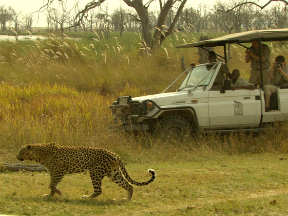 Camp Moremi - Leopards