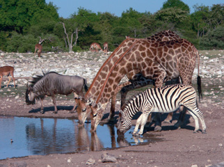 Where to Go in Africa to see Giraffe - Etosha waterhole