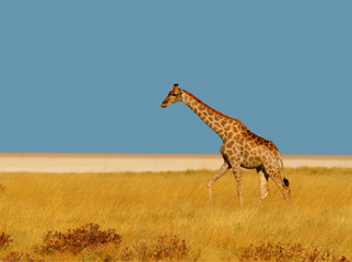 Where to Go in Africa to see Giraffe - Giraffe on the Etosha plains