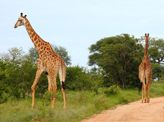 Where to Go in Africa to see Giraffe - Kruger Reserves