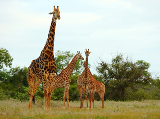 Where to Go in Africa to see Giraffe - Kruger mother & young