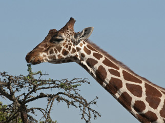 Where to Go in Africa to see Giraffe - Rothschild Giraffe