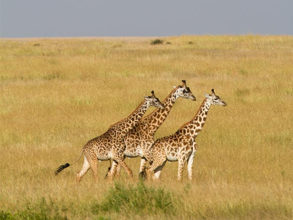 Private Nakuru & Mara Adventure - Masai giraffe