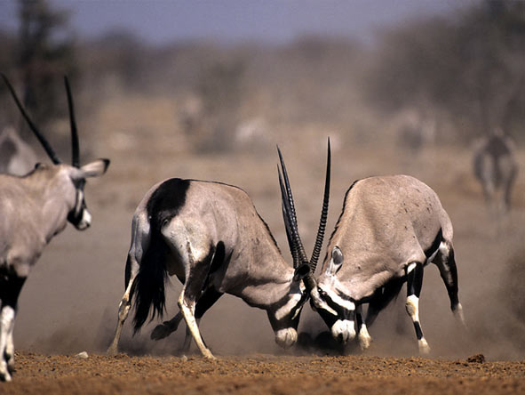 Scenic Namibia Fly-in Safari - Gemsbok battle