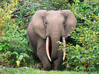 Where to go in Africa in February - Forest elephant in Odzala
