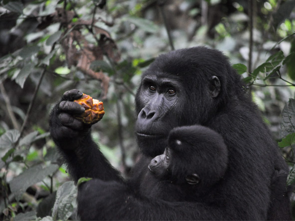 Chimp Habituation, Gorillas & Wildlife - Mountain gorillas