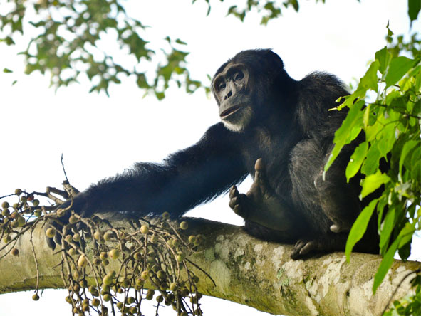 Chimp Habituation, Gorillas & Wildlife - Tracking chimps