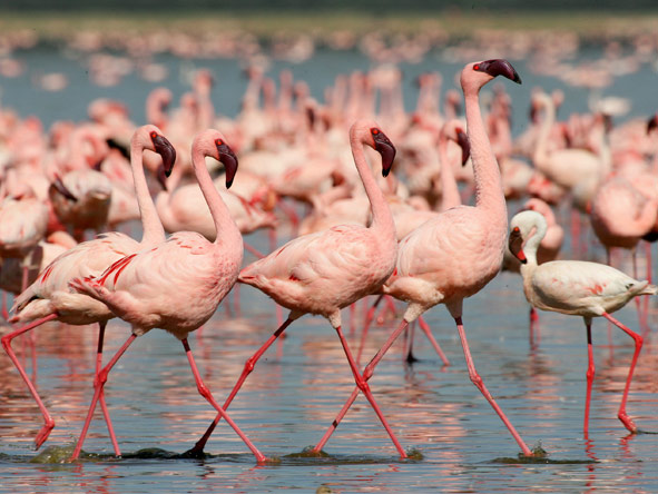 Classic Kenya Private 4x4 Safari - Pink flamingos
