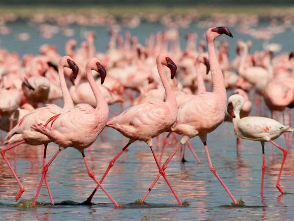 Classic Kenya Private 4x4 Safari - Pink flamingos