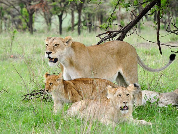 Serengeti Safari Adventure - Big cat country