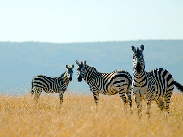Magnificent Amboseli & Mara Retreat - Zebra migration