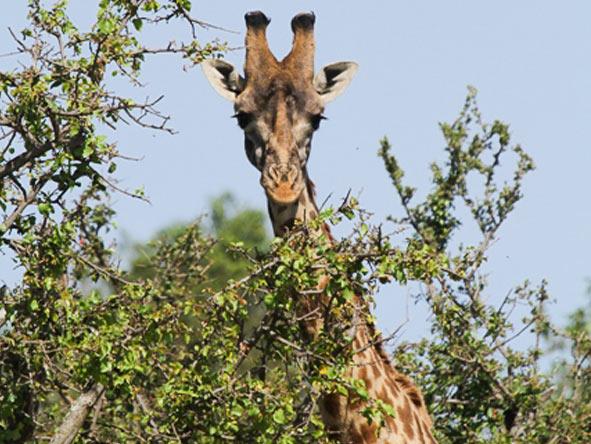 Explore Kenya Camping Adventure - Giraffe
