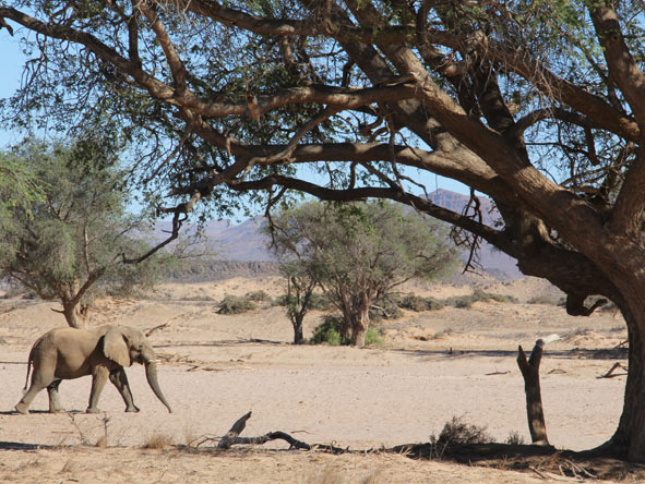 Great Namibian Safari - Desert elephants