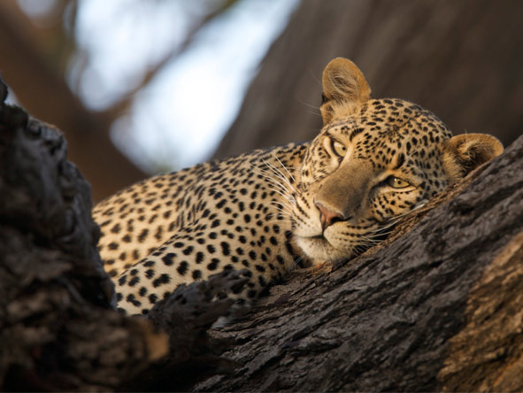 Wilderness Retreat Flying Safari - Leopard sightings
