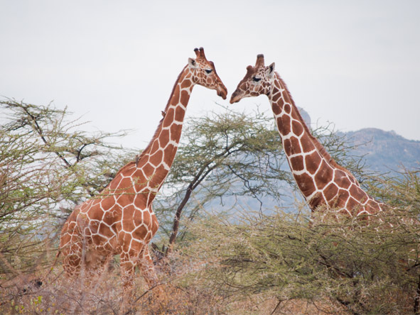 Experience Kenya Private 4x4 Safari - Giraffes