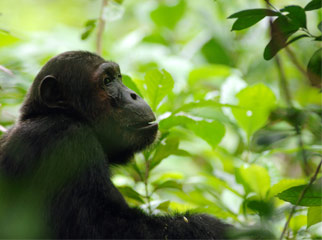 5 African Adventures to Have Before You Die chimps 2
