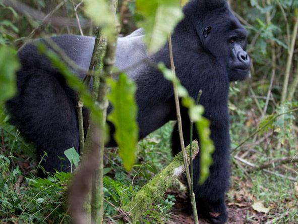 Gorilla, Culture & Wildlife Fly-in Safari - Gorilla tracking