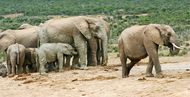 Where to Go in Africa to See Elephants - Addo