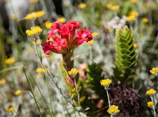 Insider Tips for Going Up Table Mountain - flower 1