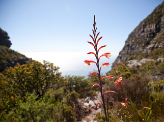 Insider Tips for Going Up Table Mountain - flower 2