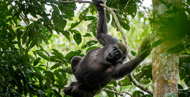 Where to go in Africa to see gorillas - blog1