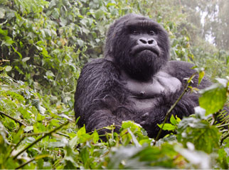 Where to go in Africa to see gorillas - blog4