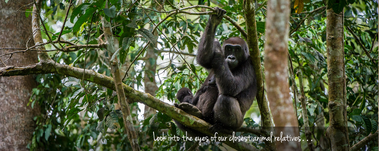Where to go in Africa to see gorillas - banner