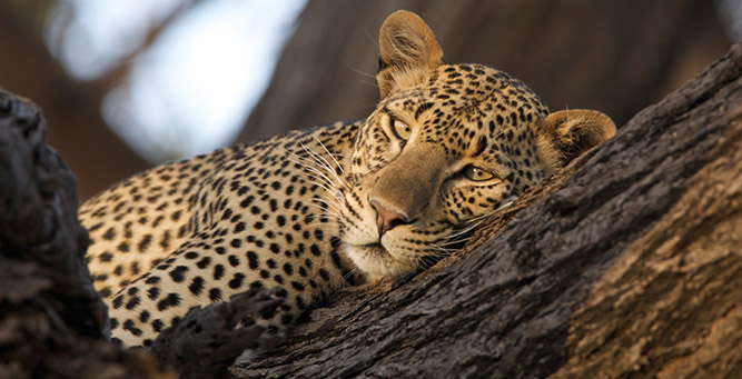 Where to Go in Africa to see Leopards - Kenya