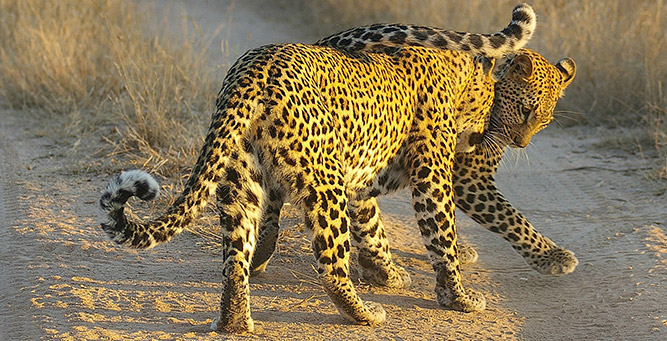Where to Go in Africa to see Leopards - Lion Sands