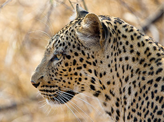 Where to Go in Africa to see Leopards - Luangwa 1