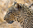 Where to Go in Africa to see Leopards - Similar