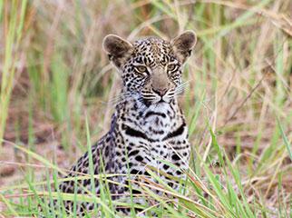 Where to Go in Africa to see Leopards - Bots small 1