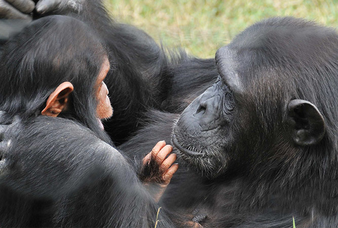 5 Bucket List Animal Encounters for Families Chimps