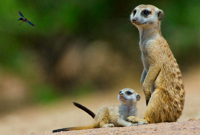 5 Bucket List Animal Encounters for Families Meerkats