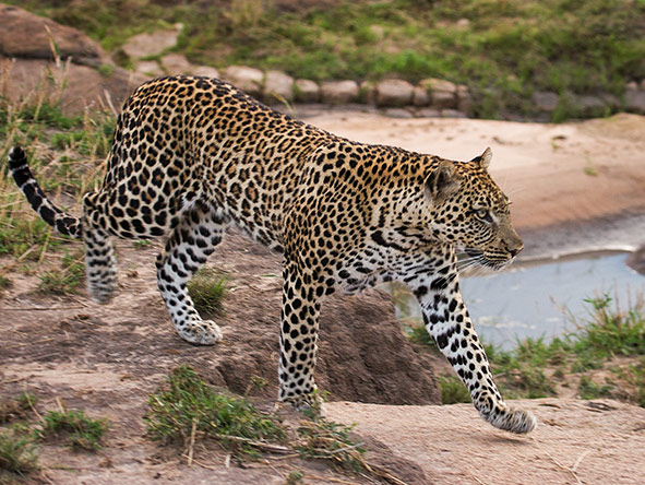 Serian Migration Camp - leopard