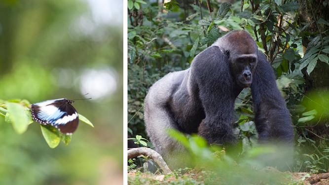 Congo Safari: Gorilla Trek