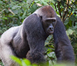 Congo Safari: Gorilla Trek