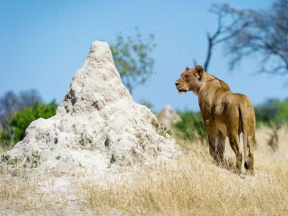 Little Mak lions