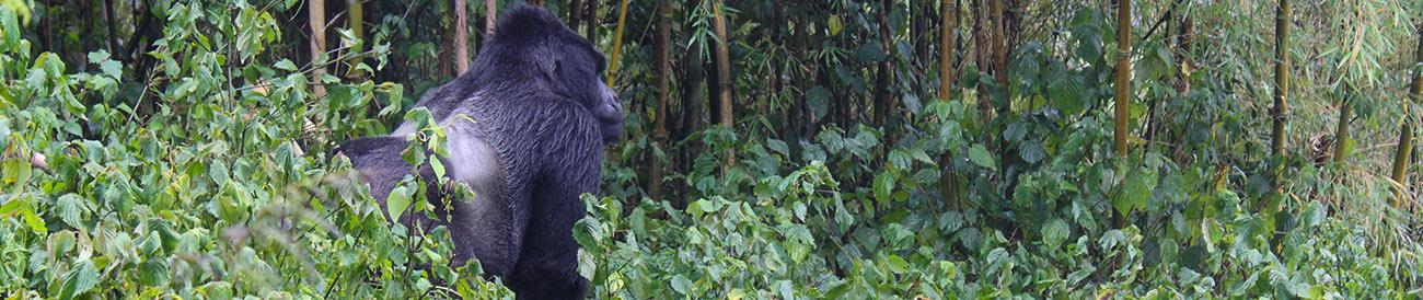 Rwanda Gorilla Encounter - Banner 2